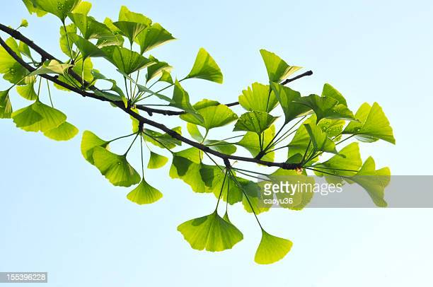 beauty in nature - ginkgo tree stock pictures, royalty-free photos & images