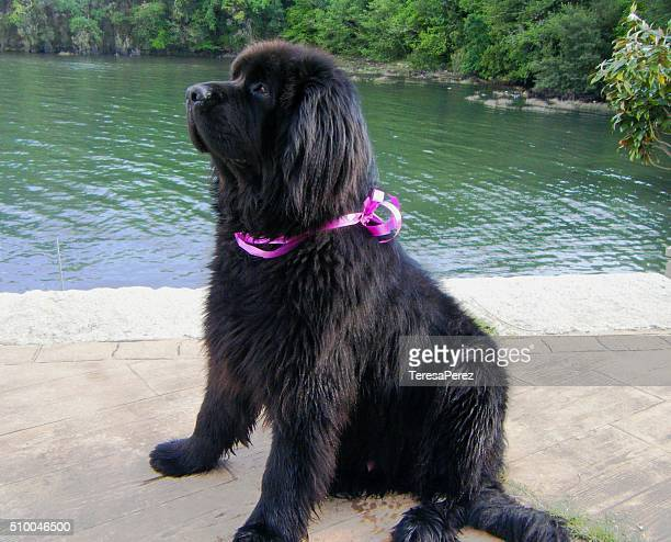 beauty newfoundland dog - newfoundland dog stock photos and pictures