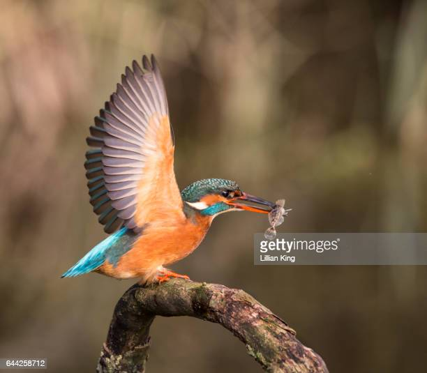Beauty of a Kingfisher