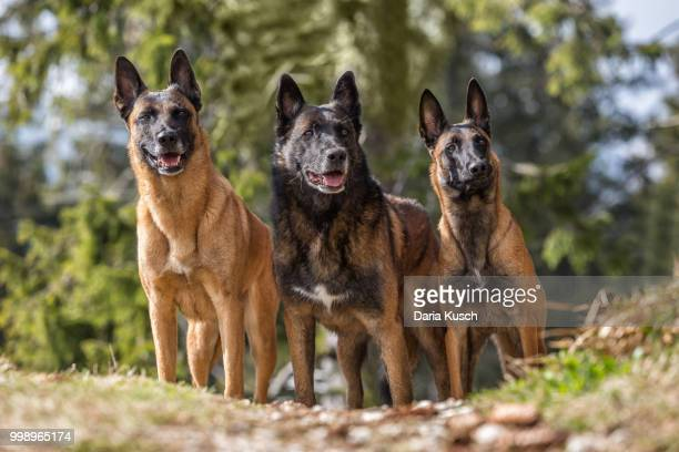 beauty of malinois - belgian malinois stock photos and pictures