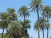 date trees near thar desertindia