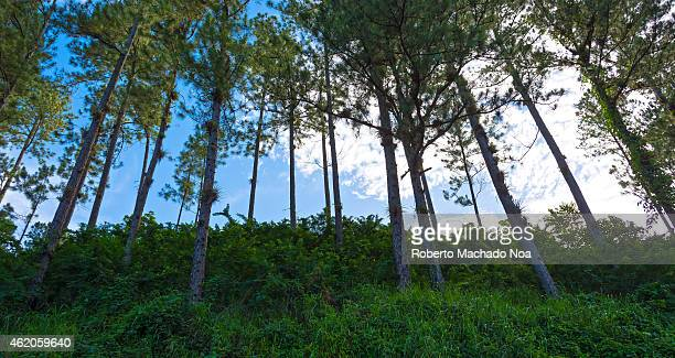 Beauty of the Cuban countryside line of pine trees in a hill over blue background