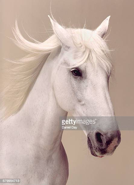 Beauty portrait of a white horse