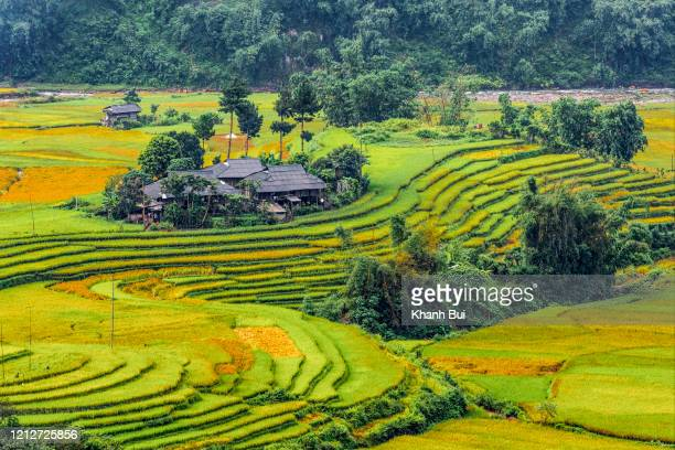 beauty small rural house in ripe rice field at springtime - kunming stock pictures, royalty-free photos & images
