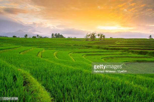 beauty sunset at paddy fields in north bengkulu, asia - rahmad himawan stock pictures, royalty-free photos & images