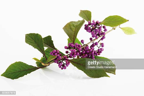 beautyberry -callicarpa giraldii- - ornamental plant stock pictures, royalty-free photos & images