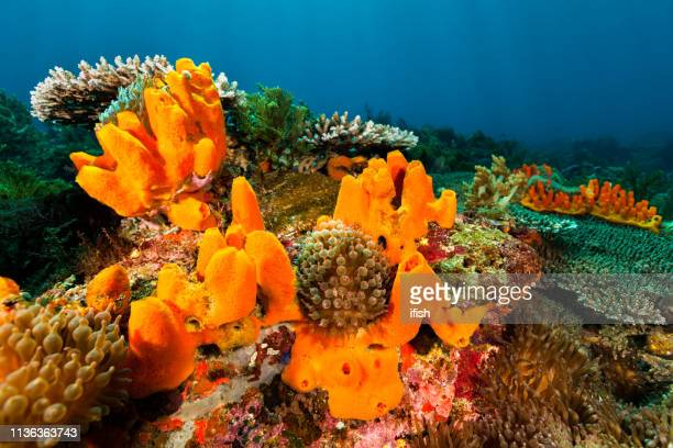 beautyful seascape, orange sponges and bubble tip anemones, pantar strait, indonesia - indo pacific ocean stock pictures, royalty-free photos & images
