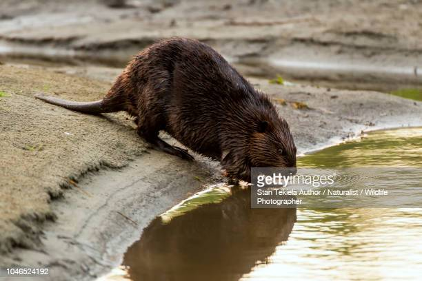 beaver, american beaver, castor canadensis, adult entering water - castor stock photos and pictures