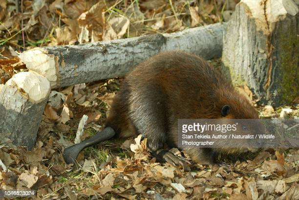 beaver, american beaver, castor canadensis, cutting down tree, eating, - beaver stock pictures, royalty-free photos & images