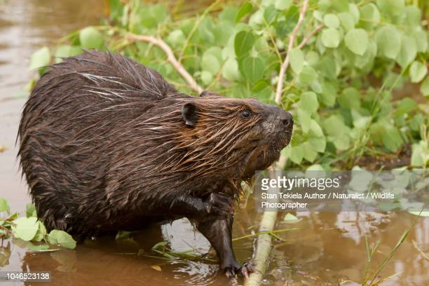 beaver, american beaver, castor canadensis, eating leaves and branch at pond - beaver stock photos and pictures