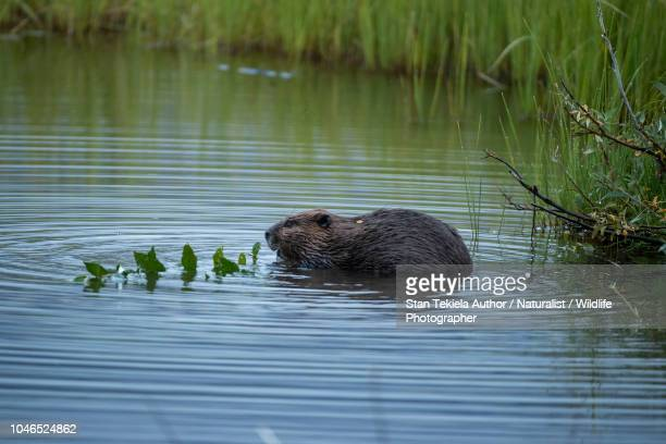 beaver, american beaver, castor canadensis, feeding on twig - castor stock photos and pictures