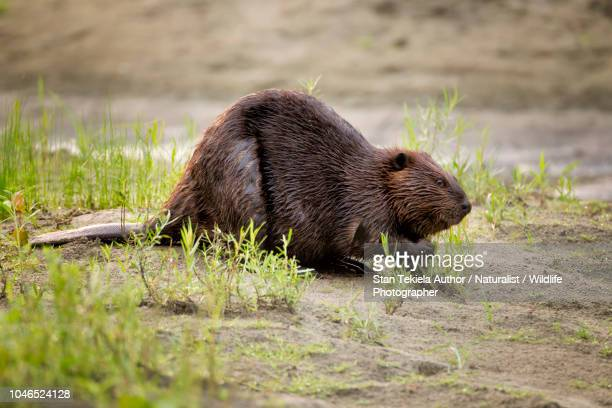 beaver, american beaver, castor canadensis, - beaver stock pictures, royalty-free photos & images