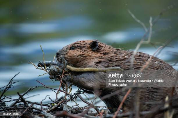 beaver, american beaver, castor canadensis, - castor stock photos and pictures