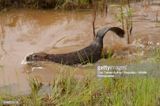 beaver, american beaver, castor canadensis slapping tail in water - beaver stock pictures, royalty-free photos & images