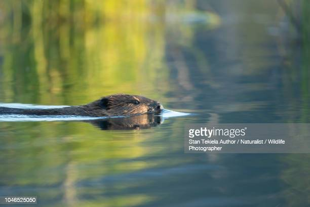beaver, american beaver, castor canadensis, swimming in pond reflection - beaver stock pictures, royalty-free photos & images