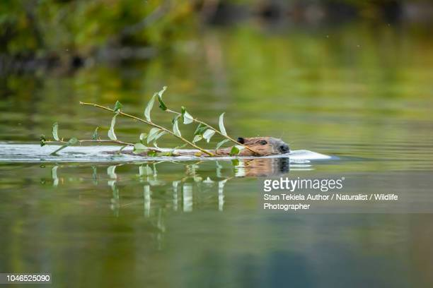 beaver, american beaver, castor canadensis, swimming with branch - beaver stock pictures, royalty-free photos & images