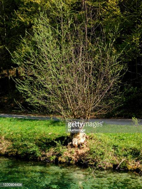 beaver bite marks on tree - bluefootage stock pictures, royalty-free photos & images