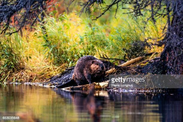Beaver building a dam, Yukon, Canada