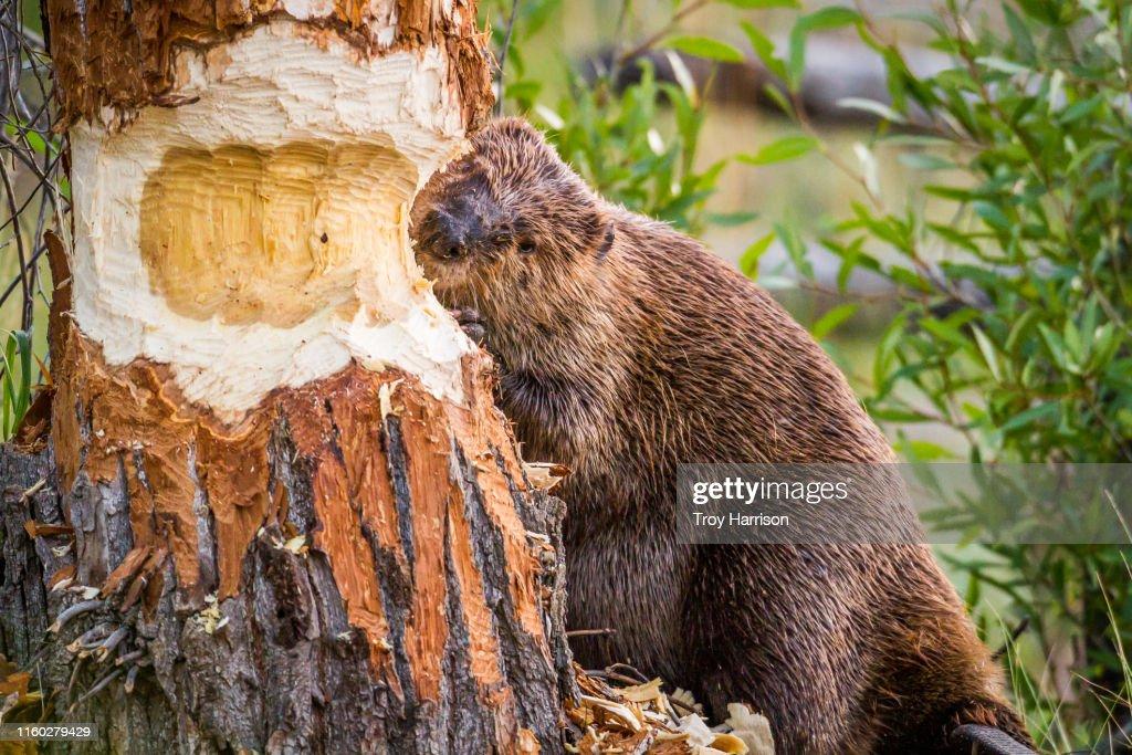 Beaver Chewing Through Tree : Stock Photo