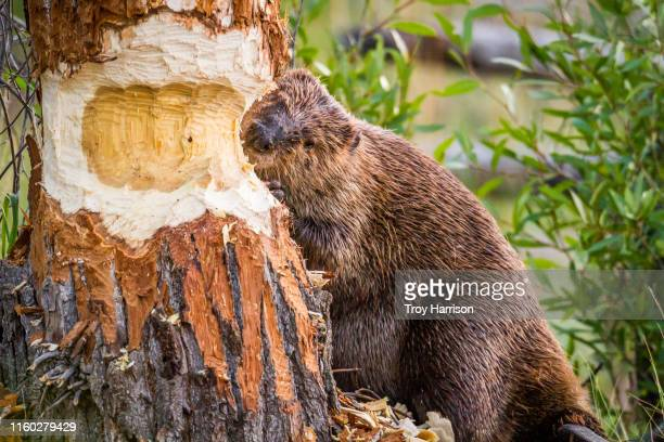 beaver chewing through tree - beaver stock pictures, royalty-free photos & images