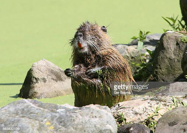 beaver cleaning his fur - funny beaver stock pictures, royalty-free photos & images