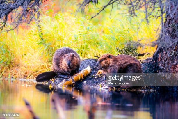 Beaver couple building a dam, Yukon, Canada