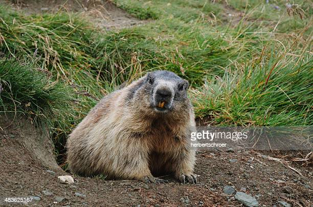 beaver crawling out of hole - beaver stock pictures, royalty-free photos & images