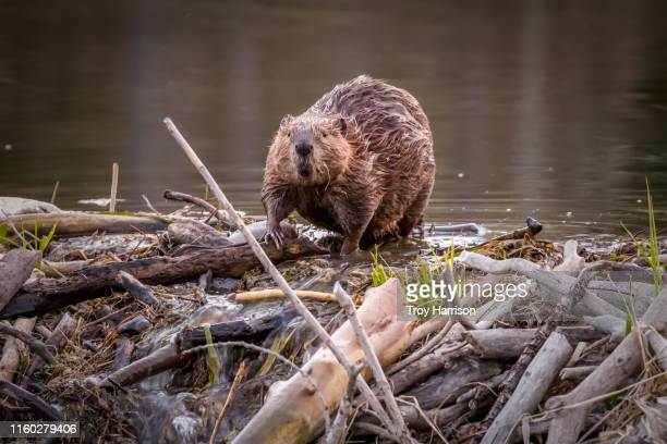 beaver crossing dam - beaver stock pictures, royalty-free photos & images