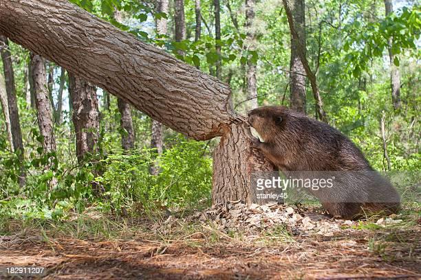 Beaver, cutting down a large oak tree
