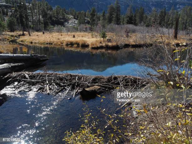 beaver dam along glen alpine creek, california - beaver dam stock pictures, royalty-free photos & images