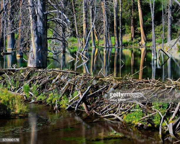 beaver dam and pond - beaver dam stock pictures, royalty-free photos & images