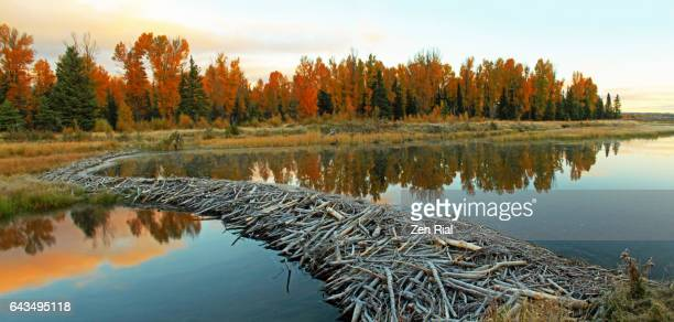 beaver dam in schwabacher landing in grand teton national park, wyoming - beaver stock pictures, royalty-free photos & images