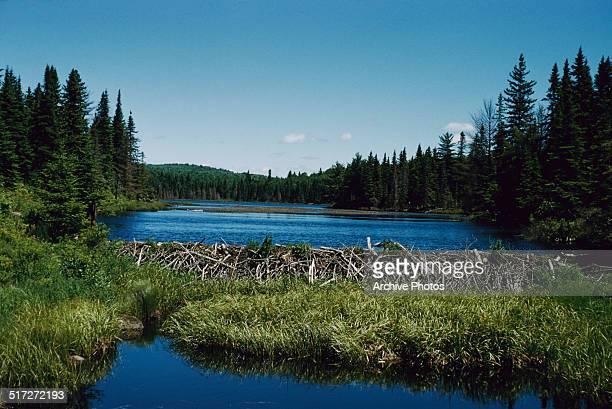 A beaver dam in the Algonquin Park Ontario Canada circa 1960