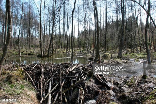 beaver dam in the floodplain, allgaeu, bavaria, germany - beaver dam stock pictures, royalty-free photos & images