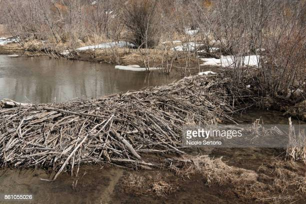 beaver dam in the wilderness - beaver dam stock pictures, royalty-free photos & images