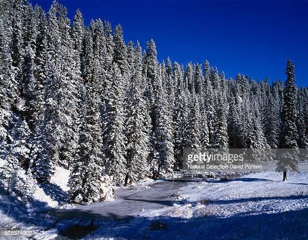 Beaver dam lined by snow covered douglas fir forest, East Fork of the Jemez River, Jemez National Recreational Area