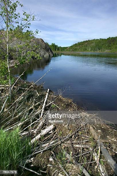 beaver dam on a river - beaver dam stock pictures, royalty-free photos & images
