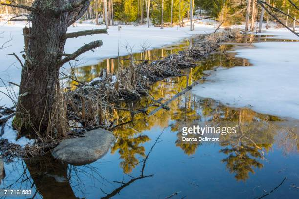 beaver dam on crommet creek, durham, new hampshire, usa - beaver dam stock pictures, royalty-free photos & images