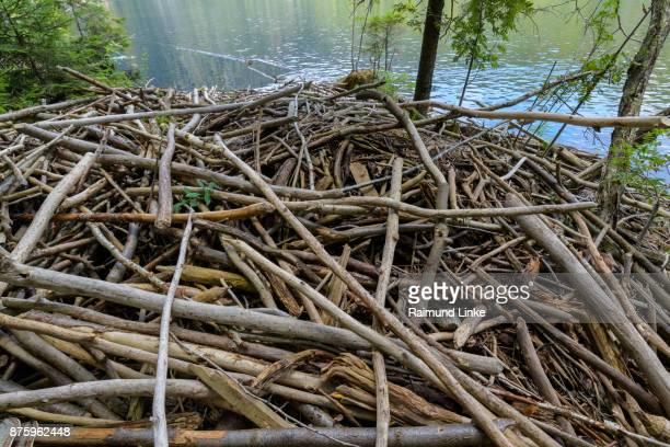 beaver dam on lake, lake großer arbersee, bayerisch eisenstein, bavarian forest, bavaria, germany - beaver dam stock pictures, royalty-free photos & images