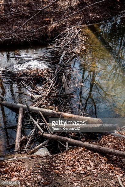 beaver dam on stream in fairfax, virginia - beaver dam stock pictures, royalty-free photos & images