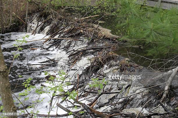 A beaver dam on the Saugus River causes flooding at the Cedar Glen Golf Course