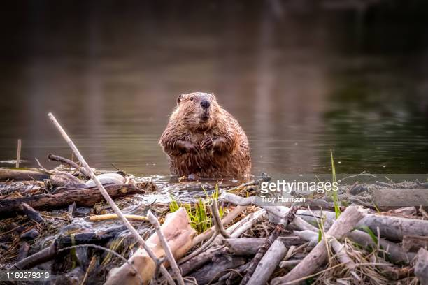 beaver dam - beaver stock pictures, royalty-free photos & images