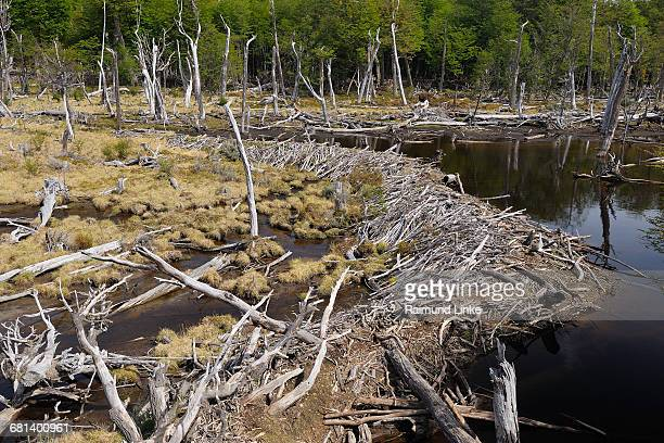 beaver dam - beaver dam stock pictures, royalty-free photos & images