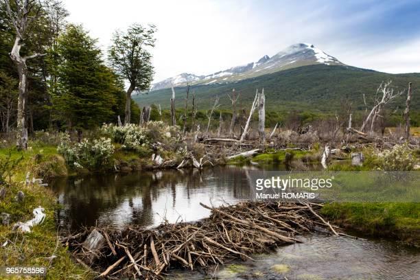 beaver dam, ushuaia, argentina - beaver stock pictures, royalty-free photos & images