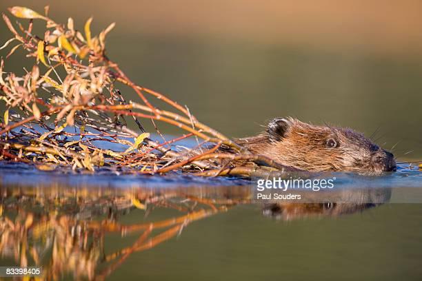 beaver, denali national park, alaska - beaver stock pictures, royalty-free photos & images