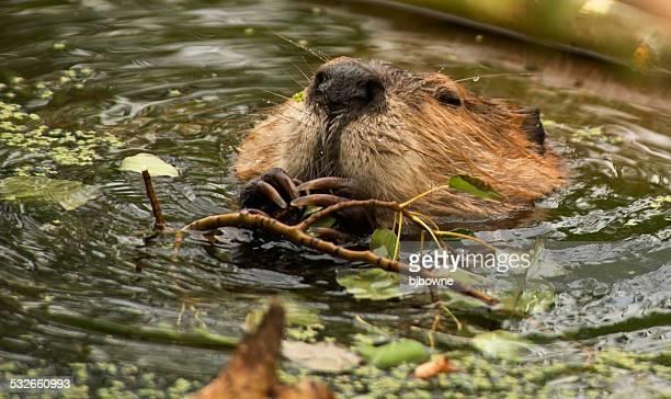 Beaver Dinner