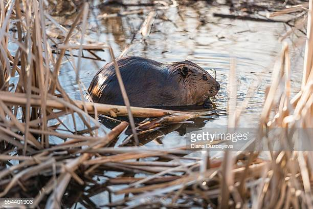 Beaver eating a tree branch