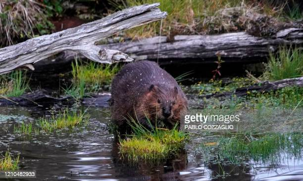 A beaver enters the water in the forest near Puerto Williams Chile on February 05 2020 With sharp teeth and surprising abilities for construction the...