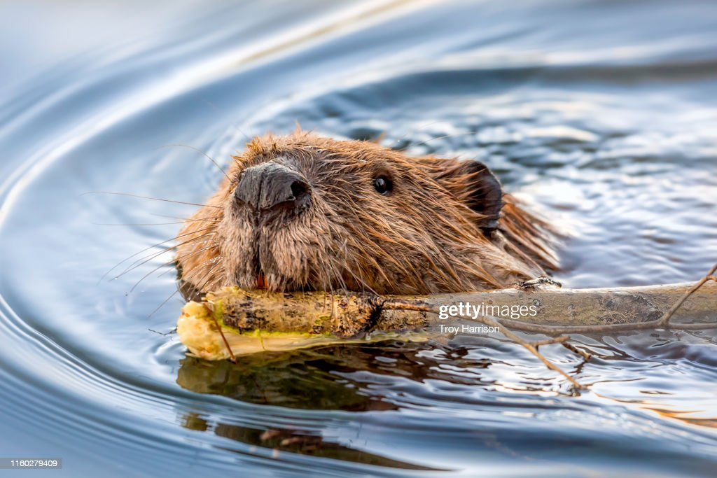 Beaver Face Swimming with Stick : Stock Photo