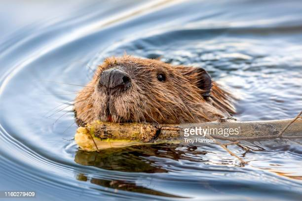 beaver face swimming with stick - beaver stock pictures, royalty-free photos & images
